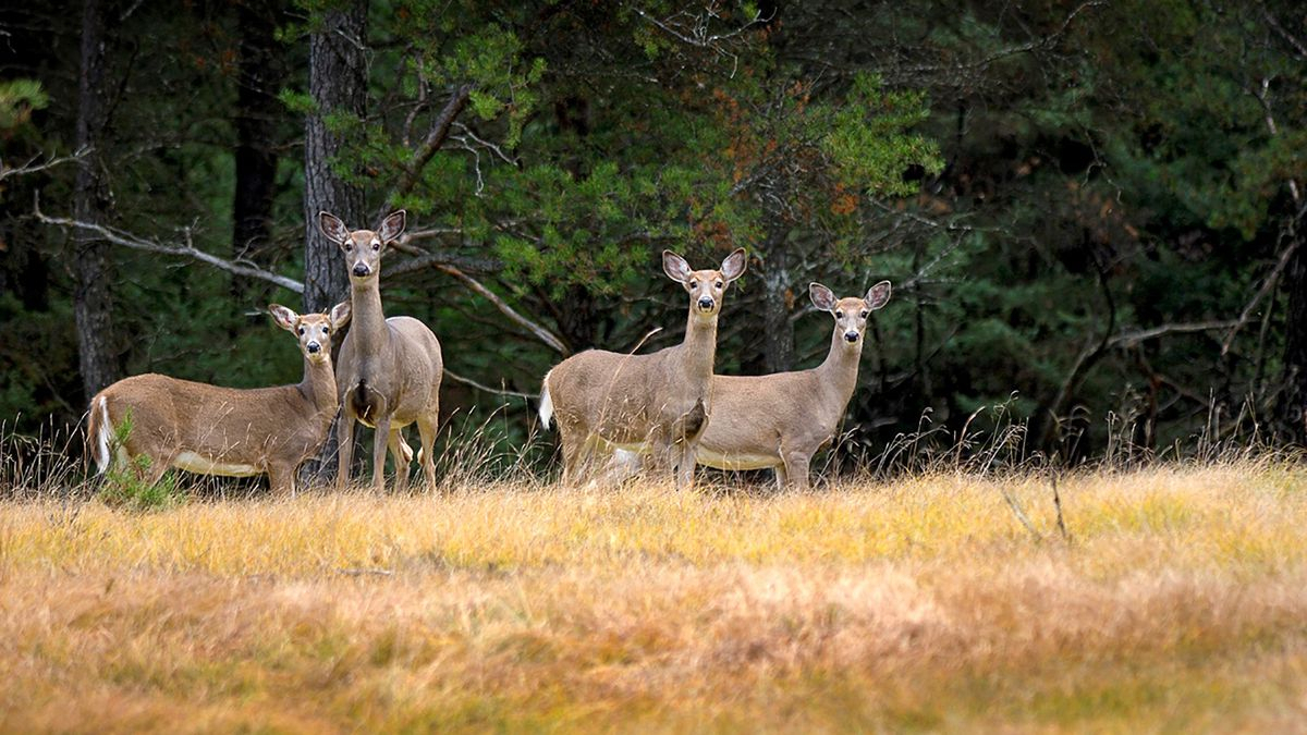 Hunters Get Extra Opportunity For Antlerless Deer In