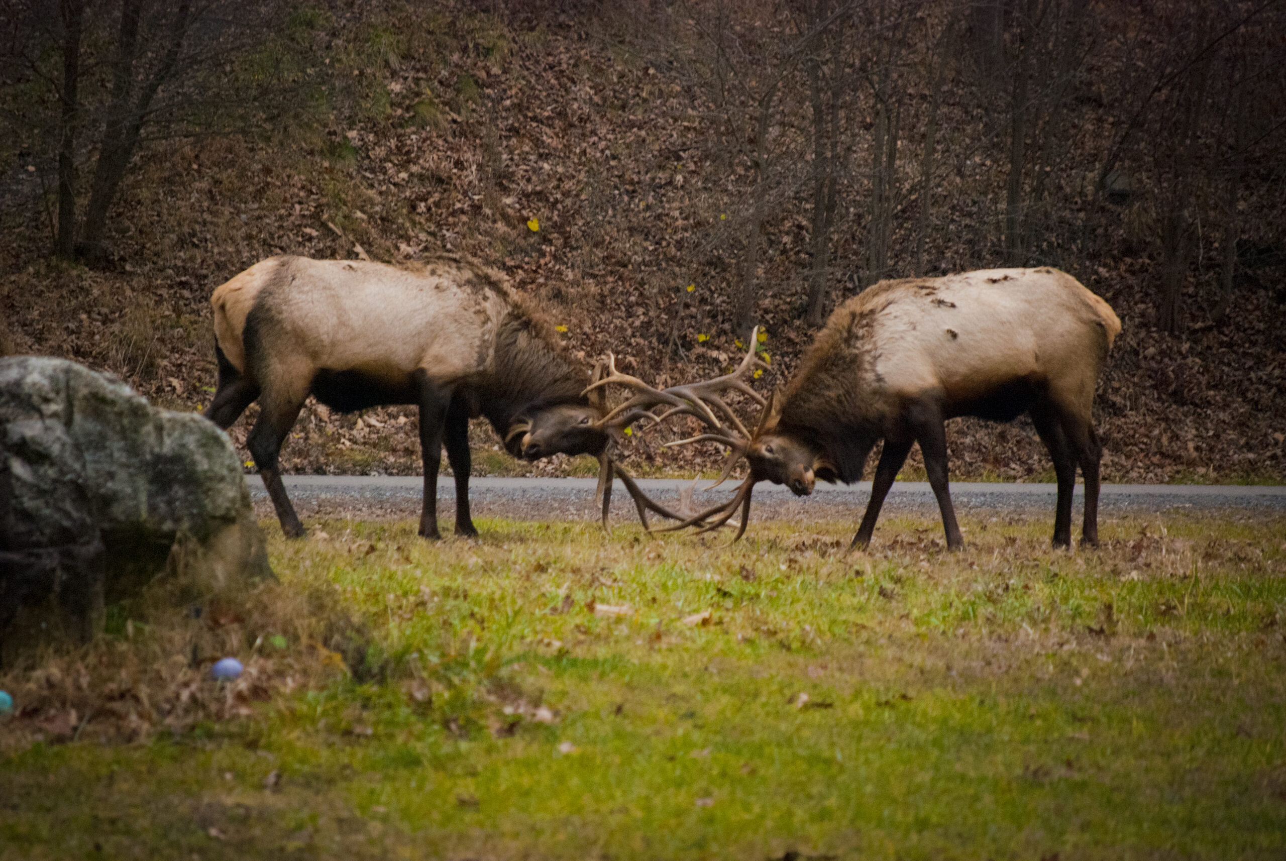 It'S Not All About The Bugle… 5 Reasons Not To Visit Elk
