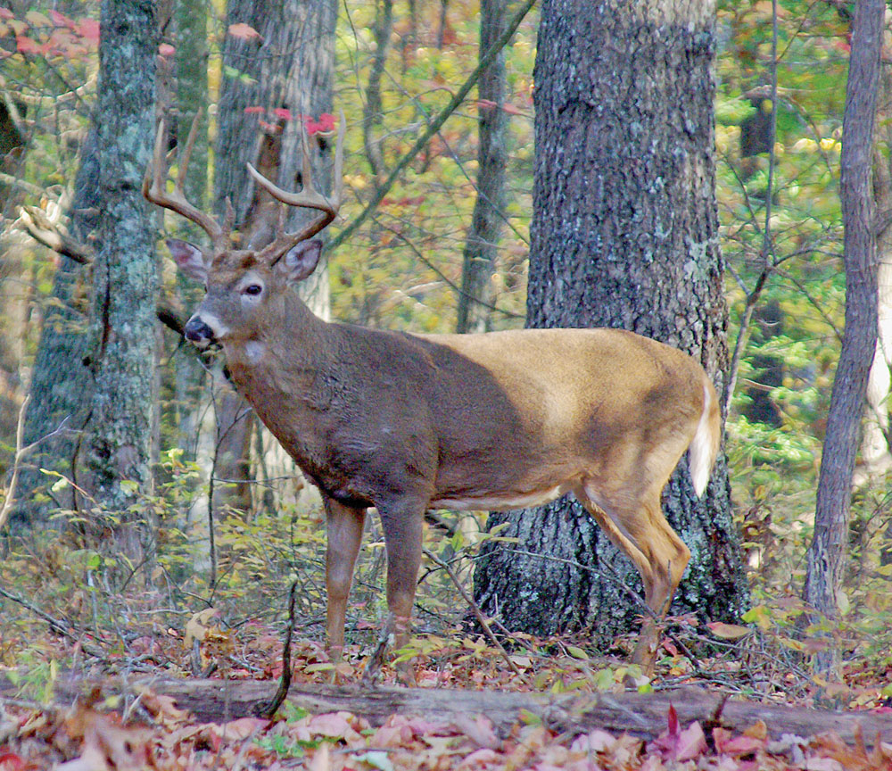 Understanding Rutting Behavior In Arkansas Whitetails